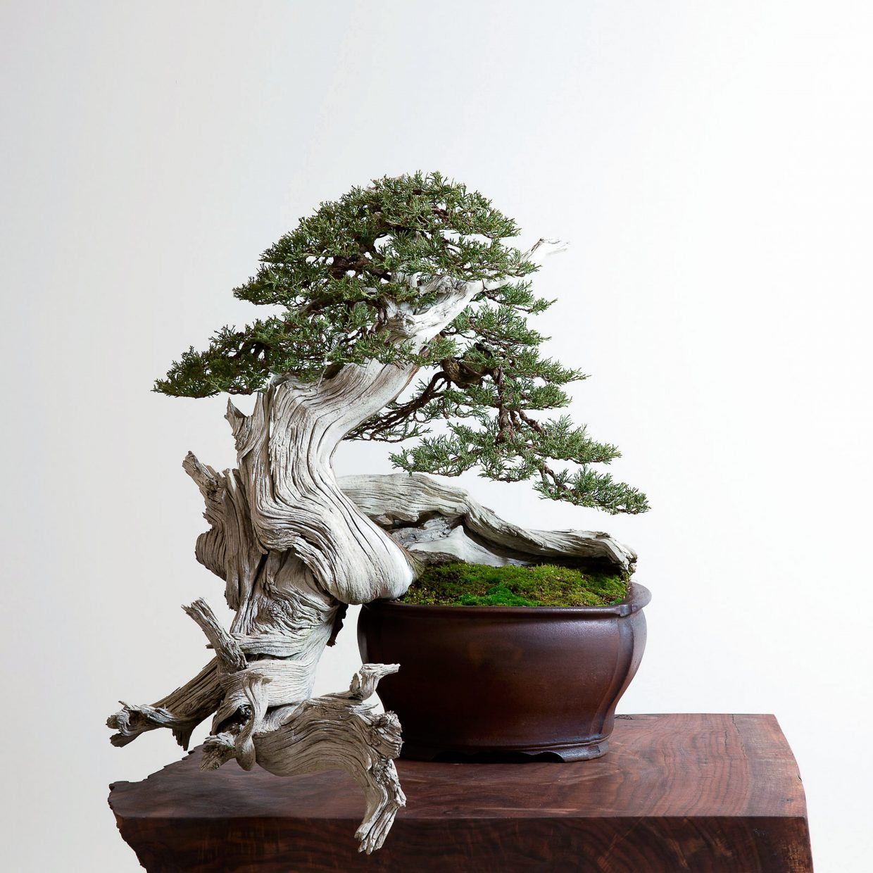 This is a Rocky Mountain juniper bonsai styled by Ryan Neil.