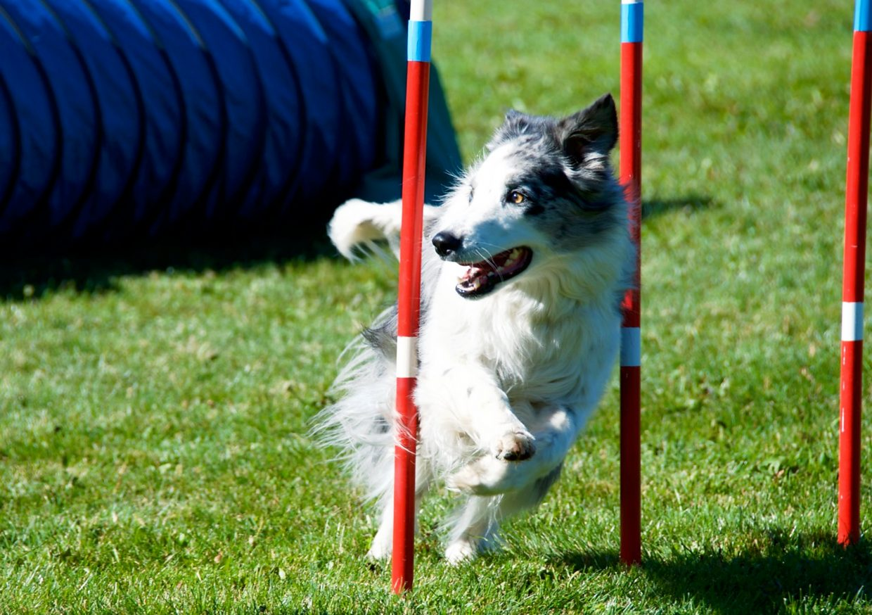 Sage, an Australian Shepherd, winds through the weave poles during the  DOCNA national championship competition on Friday at North Face Park in Carbondale.