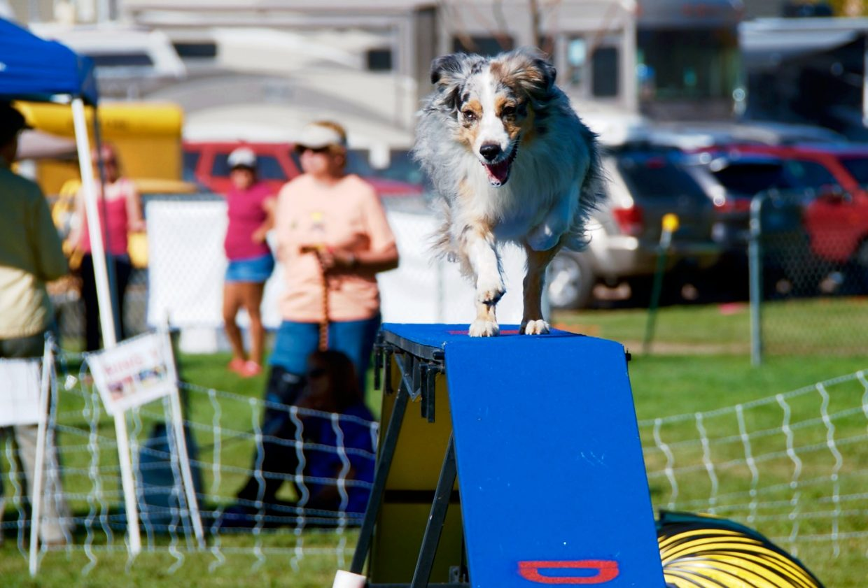 Australian Shepherd Finn, trained by Erin Schaefer, crosses an obstacle during the  DOCNA national championship competition on Friday at North Face Park in Carbondale.