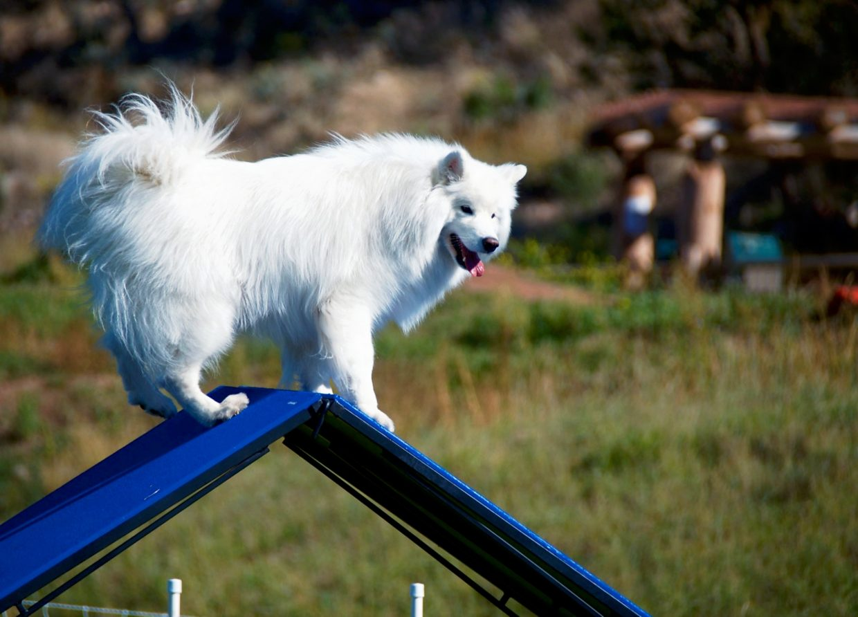 Luna, a Samoyed from Phoenix, stands on top of the A-frame during the  DOCNA national championship competition on Friday at North Face Park in Carbondale.