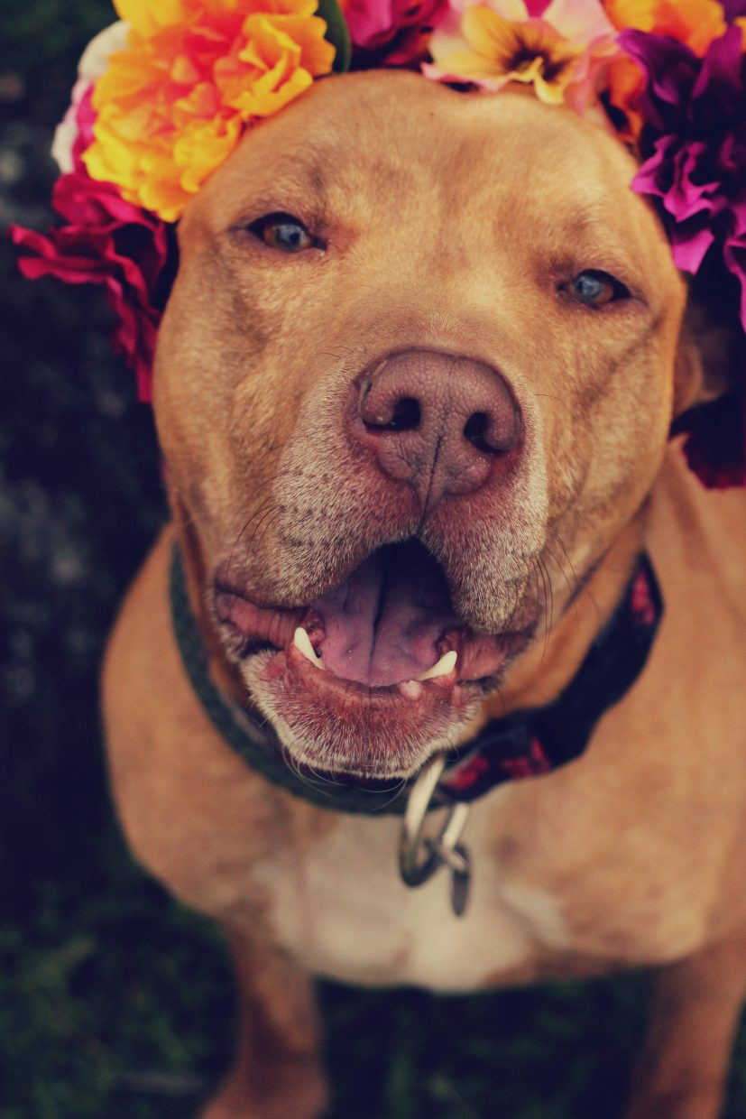 Colorado Animal Rescue has recently been working to challenge the way people look at pit-bull type dog breeds by imitating the series Flower Power: Pit Bulls of the Revolution