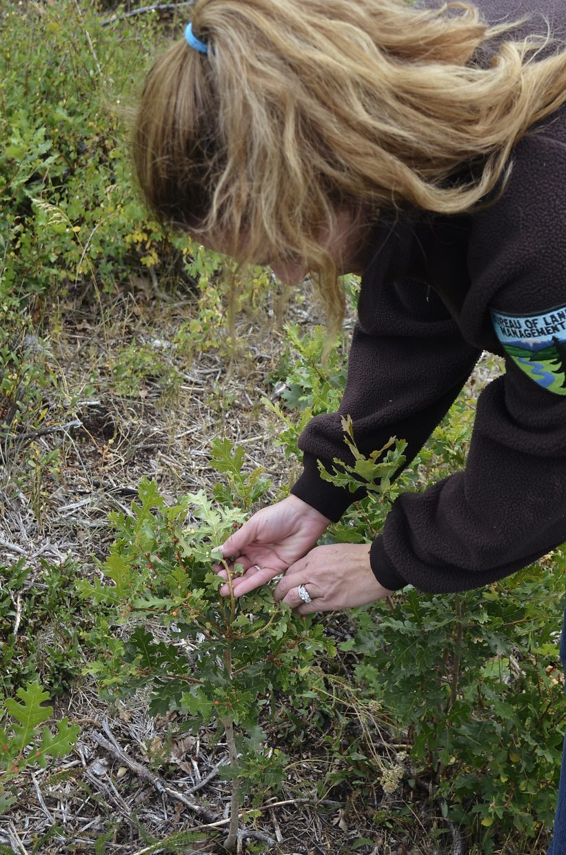 Sylvia Ringer, BLM wildlife biologist points out some young oak brush that deer and elk forage upon.