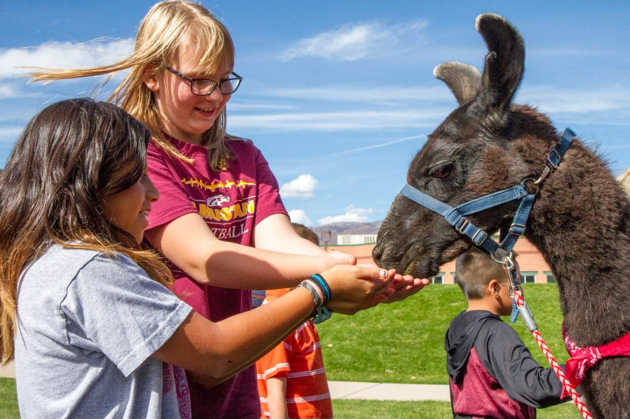 10-year old Clara Lange(left) and 11-year old Mikea Nicol feeding one of the llamas that visited them Wednesday afternoon during the after school enrichment program. The program runs on Wednesdays due to the early let out time at Sopris Elementary. Linda Hayes leads a hands-on animal class with a group of 10 fifth graders. The students got to feed and brush the llamas then lead them through a challenging obstacle course. For more photos of the students and llamas go to postindependent.com.