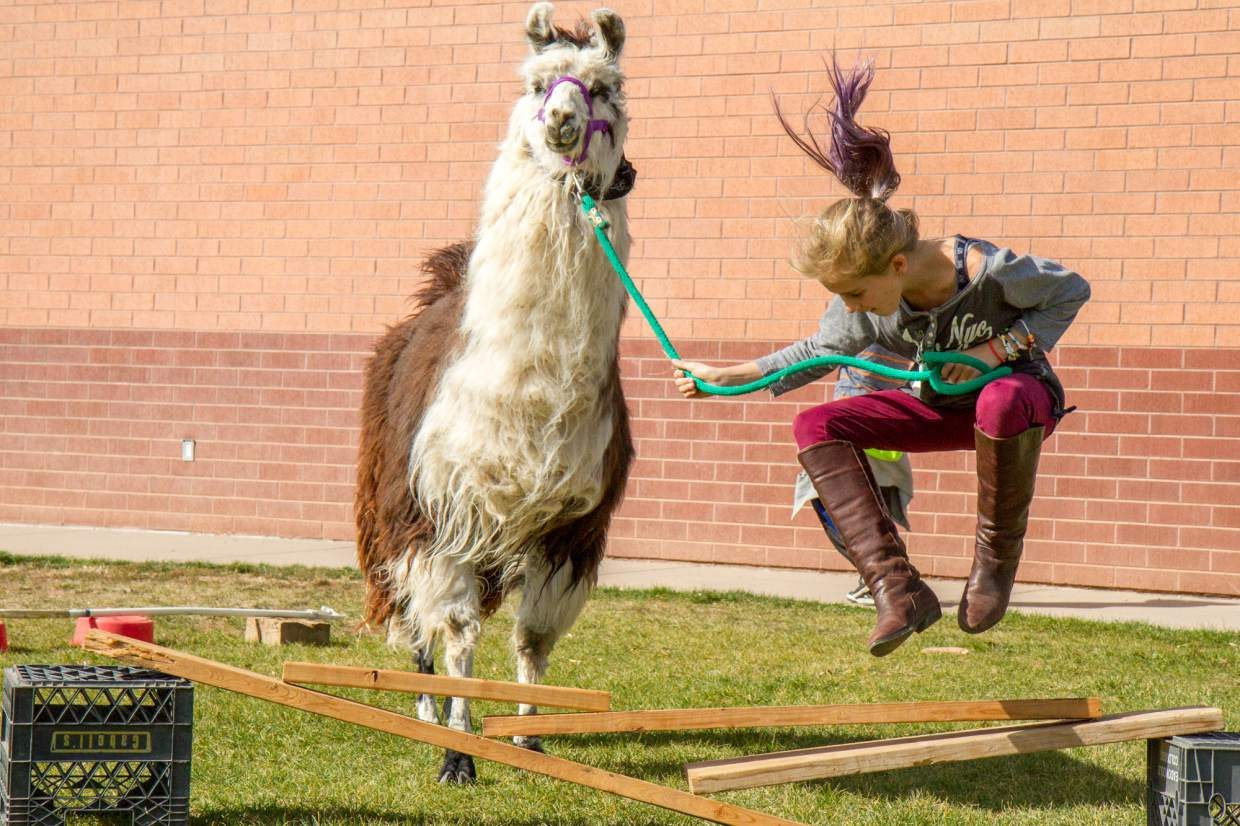 Frances Bell (10) showing her llama how to jump over the boards as part of the obstacle course on Wednesday afternooon during the after school enrichment program at Sopris Elementary School.