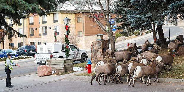 Being a code enforcement officer in Glenwood Springs apparently also means being a sheepherder, as the city worker on Friday routes bighorn sheep in front of the Best Western Antlers on West Sixth Street.