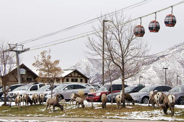 On Thursday, the bighorns were hanging out at Sixth Street and Devereux Road.