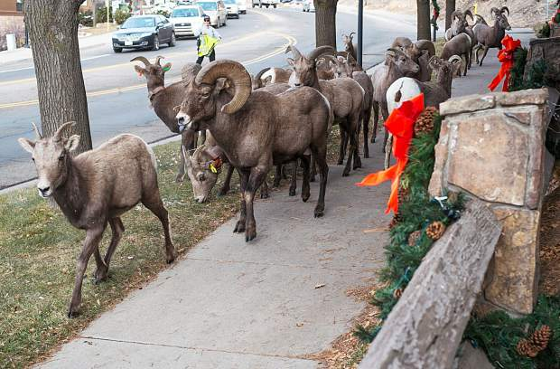 The bighorn sheep of Glenwood Canyon have made an early holiday visit to Glenwood Springs the past two days, shown here in front of the Best Western Antlers on West Sixth Street as a city code enforcement officer coaxes them along.