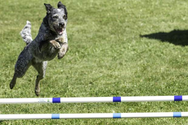 Dogs and handlers from all over the region competed in the Dog Agility National Western Competition at North Face Park in Carbondale in September.