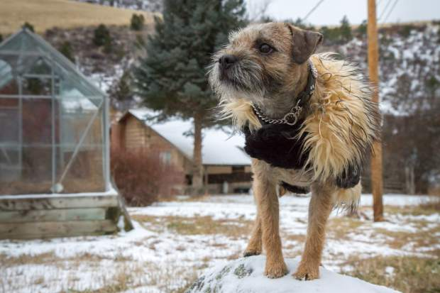 Gucci has competed in a variety of different competitions, including ones measuring agility and jumping and is set to represent the border terrier bread at the American Kennel Club National Championship in Orlando, Florida, later this week.