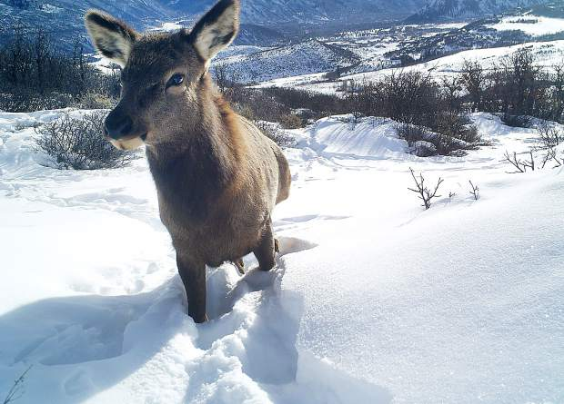An elk gets up close and personal with a motion-triggered camera along Skyline Ridge in January 2015.