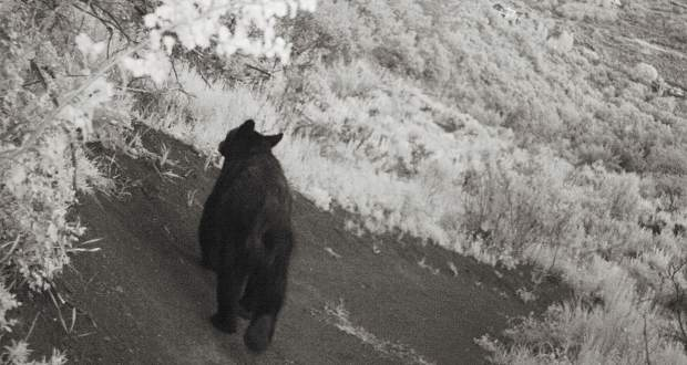 A bears ambles along the Cozyline Trail in 2014.
