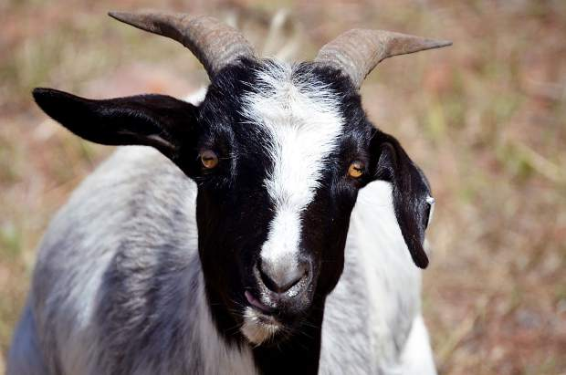 This goat will eat about 25 percent of his body weight each day, according to Green Goat LLC. While grazing on weeds by the Rio Grande Trail, the goats will also till the soil and fertilize it with their manure.