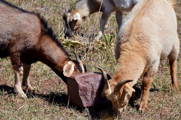 A team of 220 grazing goats are knocking down the weeds along the Rio Grande Trail south of Glenwood Springs, a project contracted out by the Roaring Fork Transportation Authority for the second year.