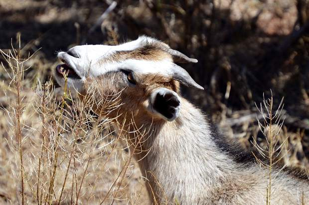 The goats contracted by Roaring Fork Transportation Authority as a natural and chemical-free weed management alternative will go after the thorny, rough plants that cattle would normally eschew.