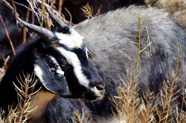 A team of 220 goats has been deployed along the Rio Grande Trail south of Glenwood to chomp down some unwanted weeds. Next the herd will be moved east of Carbondale.