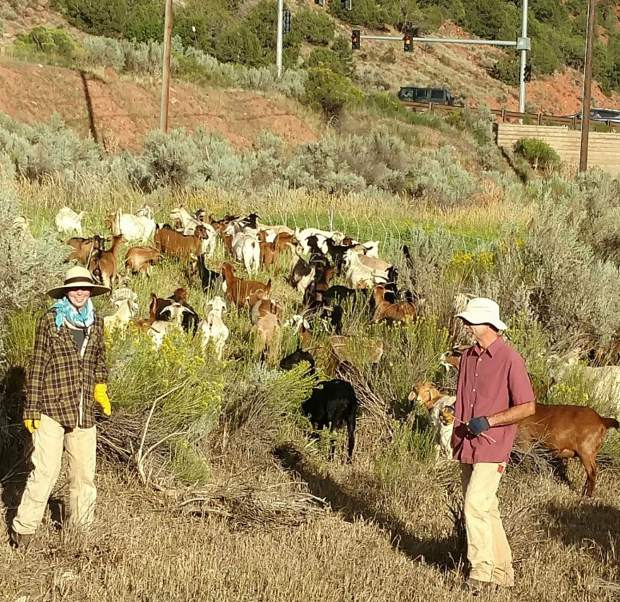 Harmony Davies and Russell McKenna tend goats under contract to munch vegetation along the Rio Grande Trail.