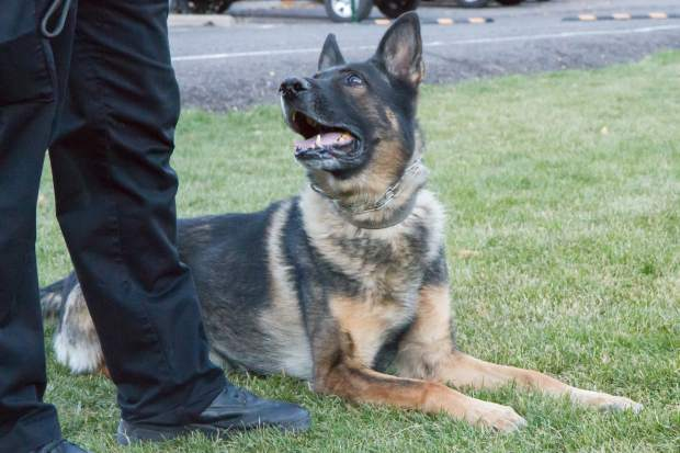 K9 Zeus is a dual-purpose German Shepherd mix that has been with the Glenwood Springs Police Department since 2009.
