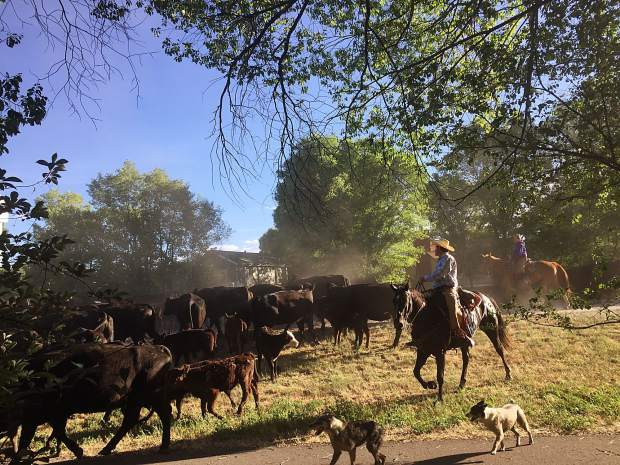 Members of the Nieslanik family in Carbondale drive their herd of cattle along Highway 133 through town headed up to the North Thompson range on Thursday morning..
