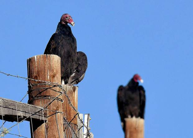 A pair of turkey vultures stand watch as they perch atop a fence above a ravine along Seventh Street in Silt. The turkey vulture is a scavenger, feeding on dead animals.