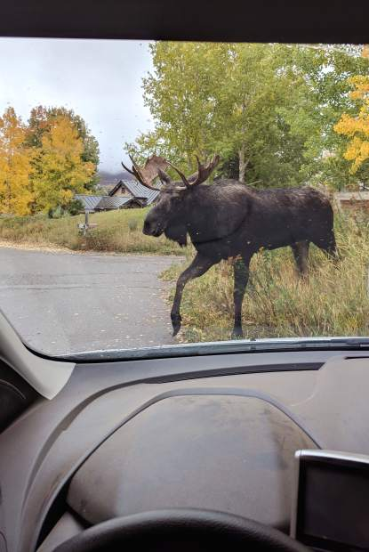 Photo: Bull moose on Maroon Creek Road | PostIndependent com