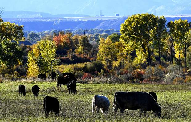 The vibrant fall colors adorn the trees along the Colorado River as a herd of cattle graze near Dry Hollow Road early last Friday evening near Silt.