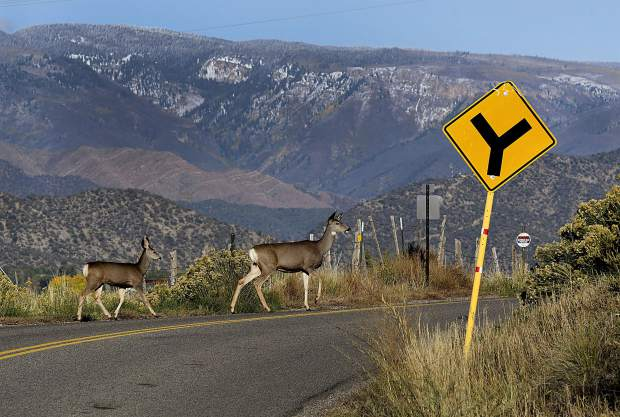 A Mule Deer Doe and fawn carefully cross the road south of Silt near the Colorado River last Friday as the sun sets on the Valley.