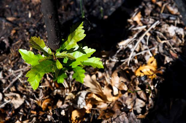 New vegetation grows through the charred earth on Basalt Mountain three months after the Lake Christine Fire.