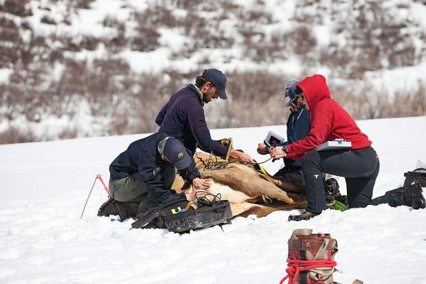 Workers with Colorado Parks and Wildlife monitor the health of a pregnant cow elk and implant a transmitter that will drop out as she prepares to give birth.