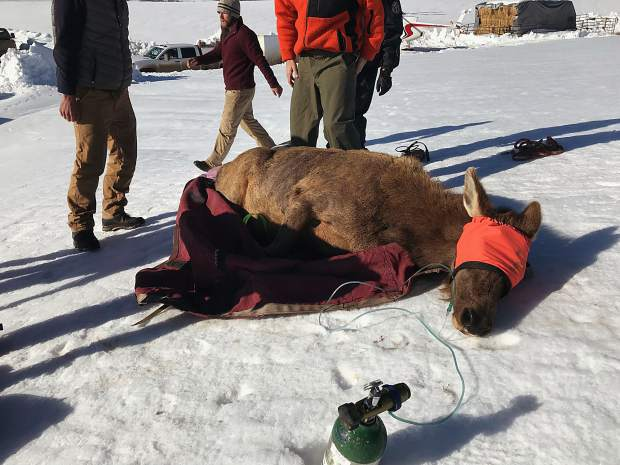Kurtis Tesch, district wildlife manager for the Upper Roaring Fork Valley, captured this image of a cow elk before it was flow by helicopter to be implanted with a transmitter. Colorado Parks and Wildlife temporarily captured 30 pregnant cow elk for what will be a six-year study.