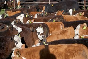 Colorado officials asking ranchers to report sick animals after more than 2 dozen cases of animal virus