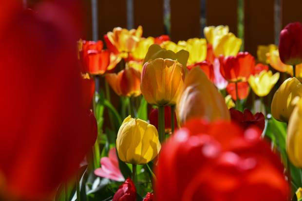 Hurst has an estimated 2,000 tulips blooming, which were all planted by hand in the fall.