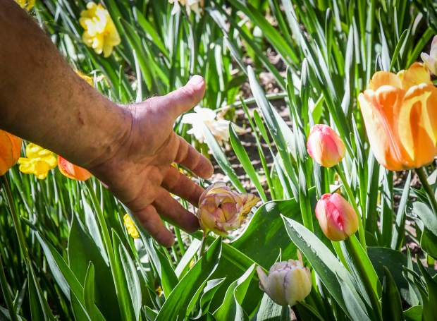 Hurst plants every bulb in his plots every fall in a mixture of various natural materials, insuring the best outcome for the coming spring.