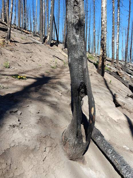 Fire-ravaged tree trunks little the landscape beside the Mill Creek Trail. The Forest Service warns trail users to be aware that damaged trunks can fall at any time.