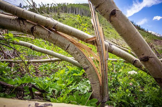 An aspen tree reduced to splinters from an avalanche in Conundrum Creek Valley in March.
