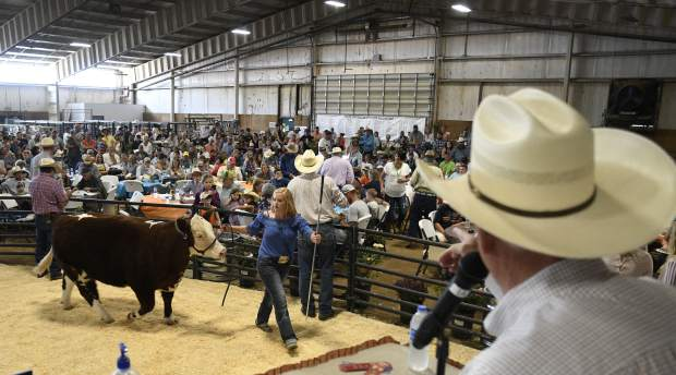 Megan Nieslanik walks the grand champion beef project in front large crowd of prospective buyers Saturday during Junior Livestock Sale in the indoor arena.
