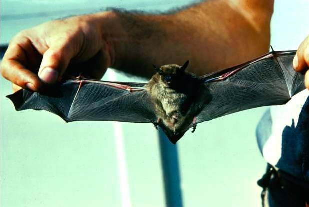 Rabid bat discovered in Breckenridge
